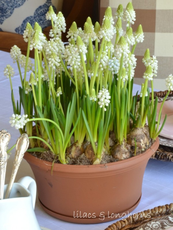 Lilacs and Longhorns- muscari