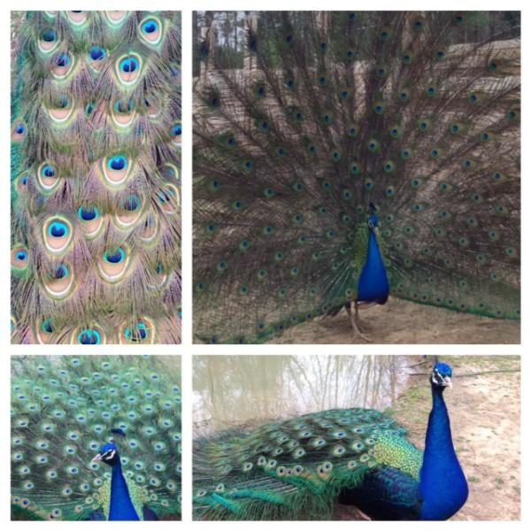 PeacockCollage