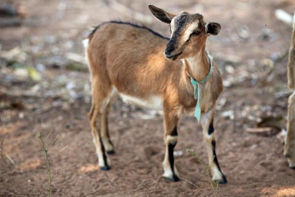Goat $45